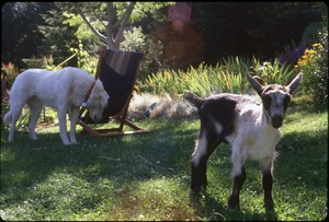 Thumbnail of Maya the dog and goat kid in front garden, Serendipity Farm house