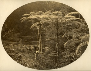 Thumbnail of Tree ferns, Penang