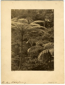 Thumbnail of Tree ferns, Gt. Hill, Penang
