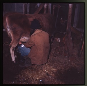 Thumbnail of Milking a cow in her stall, Montague Farm Commune