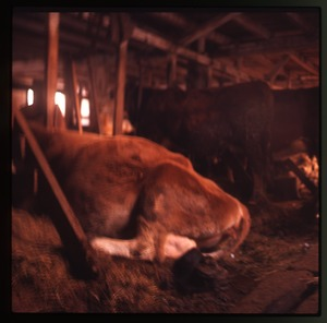 Thumbnail of Cows in their stalls, Montague Farm Commune