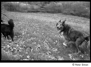 Thumbnail of Two dogs (Eyore, also known as Barf Barf, and Montague, l. to r.), running in the fields