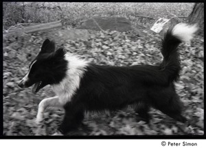 Thumbnail of Collie-mix dog (Eyore, also known as Barf Barf) running in the fields