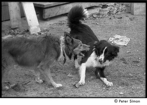 Thumbnail of Eyore (right, also known as Barf Barf) and Montague, commune dogs, scuffling: Packer Corners commune