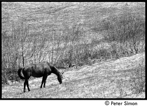 Thumbnail of May Day at Packer Corners commune: horse grazing in the field