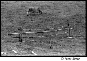 Thumbnail of Dolly the cow grazing by the remains of a fence, Montague Farm commune