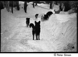 Thumbnail of Commune dogs on a snowy road, Tree Frog Farm commune