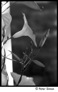 Thumbnail of Morning glory, flower and buds