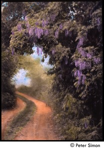 Thumbnail of Wisteria road, Aquinnah (hand-colored by Ronni Simon