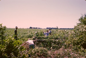 Thumbnail of Five unidentified volunteers clearing brush and trees from a field