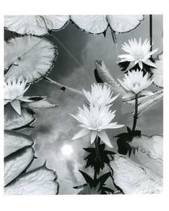 Thumbnail of Water lilies/sun reflection