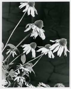 Thumbnail of Coneflowers with flagstone in background