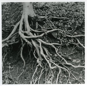 Thumbnail of Eroded roots