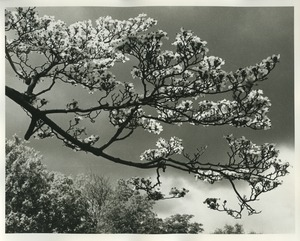Thumbnail of Dogwood in Arnold Aboretum