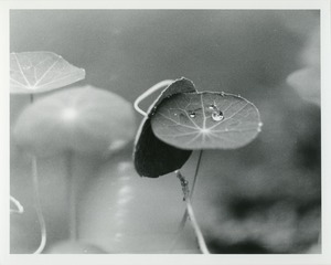 Thumbnail of Nasturtium with raindrop