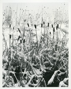 Thumbnail of Cattails along Tan Brook