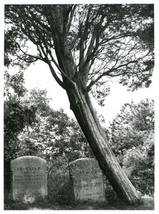 Thumbnail of Cedar tree against gravestone