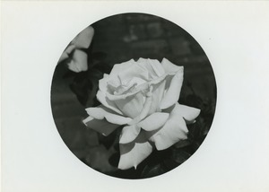 Thumbnail of Wilton's rose