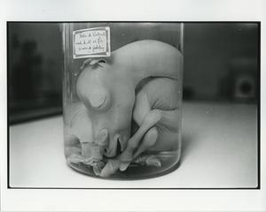 Horse fetus