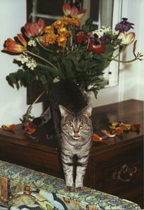 Thumbnail of Cat eating tulips