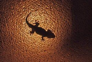 Thumbnail of Lizard on glass