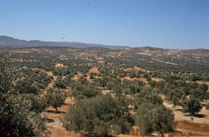 Thumbnail of Olive groves in the countryside