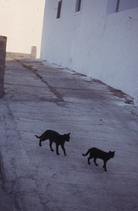 Thumbnail of Two cats walking in the street