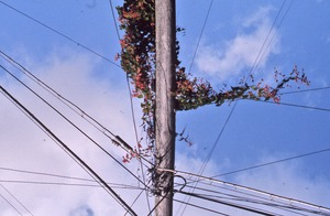Thumbnail of Bougainvillea on power lines