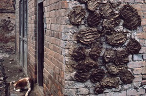 Thumbnail of Dung patties drying on a wall