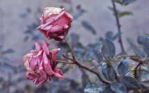 Thumbnail of Faded roses