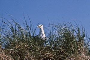 Thumbnail of Gull in dune grass