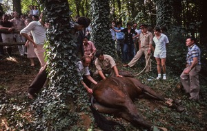 Thumbnail of Horse being euthanized