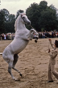Thumbnail of Arabian rears during judging