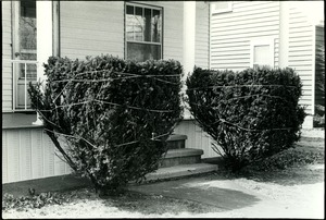 Thumbnail of Winterized shrubs