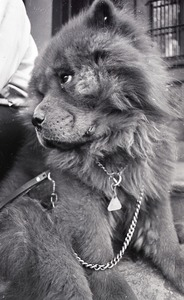 Thumbnail of Chow Chow