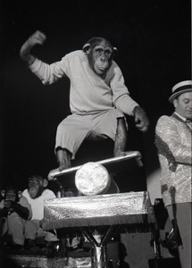 Thumbnail of Chimpanzee vaudeville act opening for the Grateful Dead at Sargent Gym, Boston University: chimpanzee on a balance board