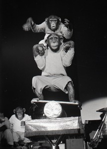 Thumbnail of Chimpanzee vaudeville act opening for the Grateful Dead at Sargent Gym, Boston University: two chimpanzees on a balance board