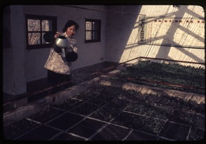 Thumbnail of Plats of vegetables being watered by woman