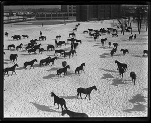Thumbnail of Horses at the Commonwealth Armory