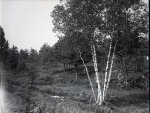 Thumbnail of Landscape near Kenneth Roberts' home Birch tree in a small clearing