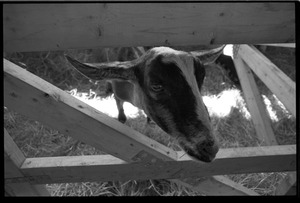 Thumbnail of Goat in a pen at the Blandford Fair