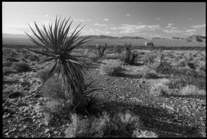 Thumbnail of Yucca in the desert near the Nevada Test Site peace encampment