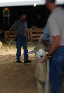 Thumbnail of Franklin County Fair: Sheep being judged