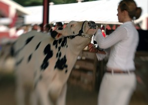 Thumbnail of Franklin County Fair: Cow being shown