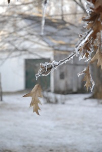 Thumbnail of Close-up of leaves and twigs covered in thick ice