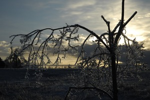 Thumbnail of Ice-damaged tree, covered with ice, at sunset