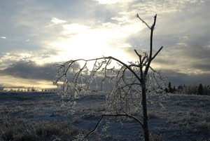 Thumbnail of Ice-damaged tree at sunset