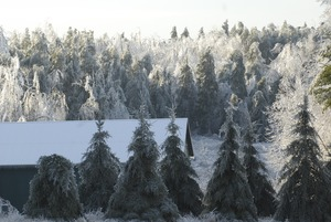 Thumbnail of Line of ice-covered evergreens