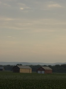 Thumbnail of Tobacco barns in a field, Hatfield, Mass.