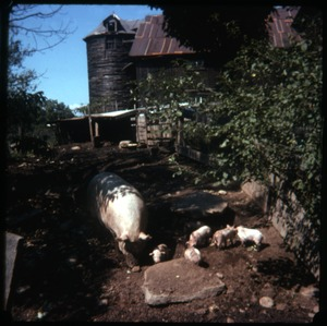 Thumbnail of Pigs in their sty near the barn, Montague Farm Commune